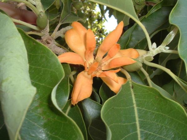 Hoa màu vàng nhạt của Hoàng ngọc lan (Michelia champaca).
