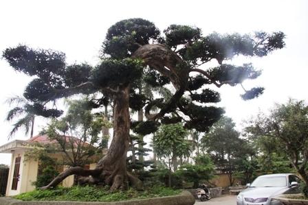Cây Tùng cổ long ẩn top 100 cây cảnh đẹp thế giới