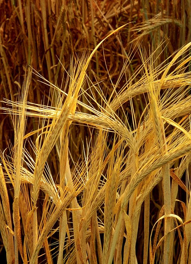 Cây đại mạch,cây lúa mạch,Hordeum vulgare,họ lúa,họ hòa thảo,poaceae,công dụng của đại mạch,cây lương thực