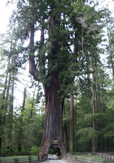 cây tùng bách gỗ đỏ