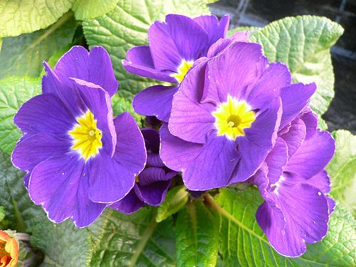 Hoa anh thảo,hoa ngọc trâm,hoa ngày Tết,Primrose,Paigle,Peagles,Herb Peter,Butter-rose,Key Flower,Our Lady's Keys,Key of Heaven,Key Flower