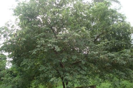 Cây trắc,trắc,cây gỗ trắc,gỗ trắc,cẩm lai Nam Bộ,Dalbergia cochinchinensis