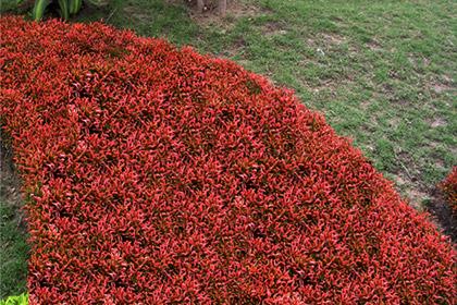 Cây kỉ đỏ, dền đỏ cảnh