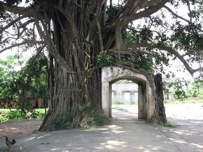 cây đa,cây đa cổng làng