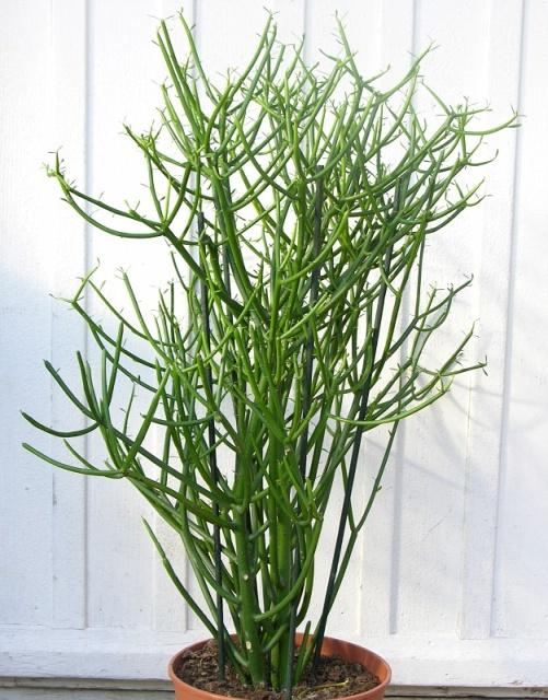 Cây xương khô,cây giao,cành giao,cây xương,san hô xanh,cây xương cá,cây bút chì,cây nọc rắn,cây càng tôm,Euphorbia tirucalli