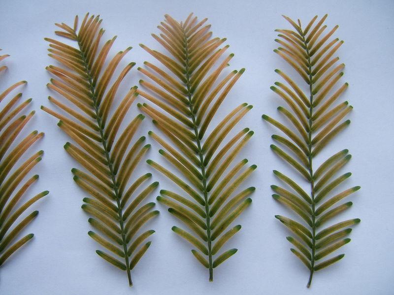 Một cành lá rụng hàng năm của một loài thủy sam (chi Metasequoia)