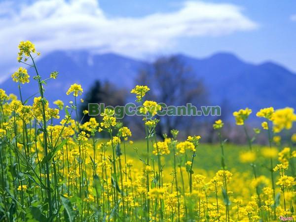 Hoa Cải Vàng,mùa hoa cải vàng, cây hoa cải, hoa cải vàng, cải ngồng ra hoa, cây hoa cải,