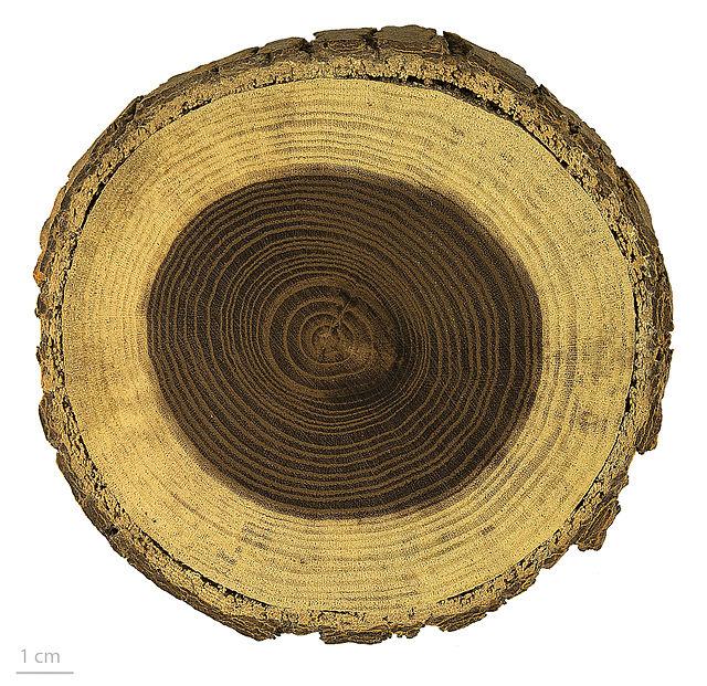 Cây dâu tằm,Cây dâu tằm,dâu tằm,cây dâu,cây dâu trắng,morus alba,cây ăn quả,cây dâu tằm bonsai,cây cảnh dâu tằm,tác dụng của cây dâu tằm,bài thuốc từ cây dâu tằm