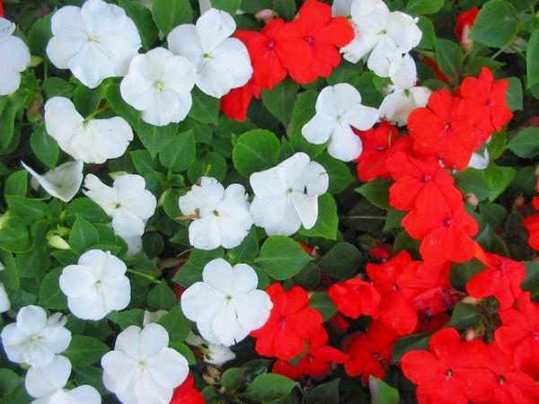 Ngọc thảo,hoa ngọc thảo,hoa chân nến,ngọc thảo kép,ngọc thảo đơn,hoa ngọc thảo kép