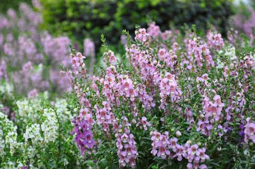Hoa ngọc hân,hoa bâng khuâng,hoa đẹp