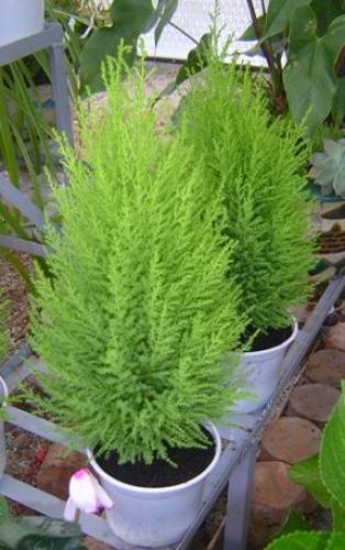 Cây tùng thơm,cay tung thom,cây tùng,tùng thơm,tung thom,tùng hương,Cupressus macrocarpa