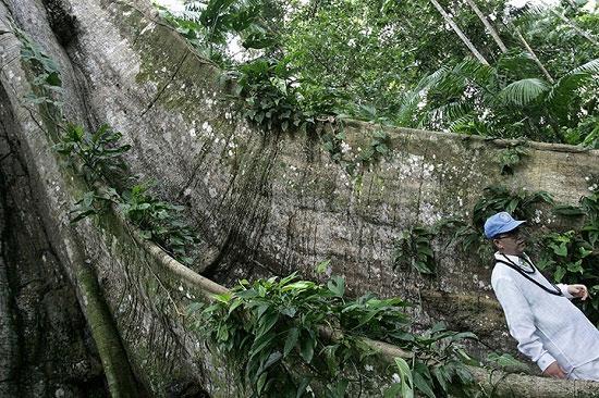 cây Sumauma
