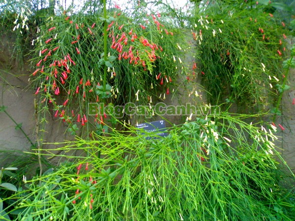 Cây Liễu Tường Hoa Đỏ,cây liễu tường hoa đỏ, họ Hoa mõm sói , Scrophulariaceae., hình ảnh cây liễu tường hoa đỏ, Russelia equisetifomis Schlecht. et Cham., cay lieu hoa do, cây hoa xác pháo, cây xác pháo,