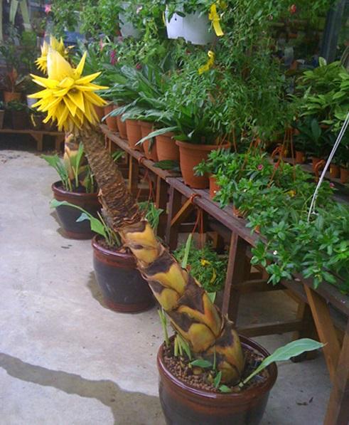 Chuối tài lộc,chuối cảnh,cây chuối,cây phong thủy,cây may mắn,cây ngày Tết,chuối hoa lan Lowiaceae