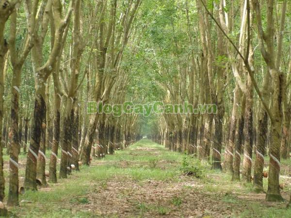 Cây Cao Su,cây cao su, hình ảnh cây cao su, Hevea brarileneis, vườn cây cao su, công dụng cây cao su, cay cao su, mủ cao su,