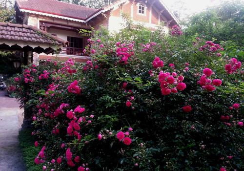 Hoa hồng leo,hoa hong leo,hồng leo,hồng dây,hoa hồng,hồng tường vi,hồng tầm xuân,hồng dây hoa trắng,cây leo,cây hoa,cây giàn leo,cây trang trí sân vườn,cây trang trí hàng rào
