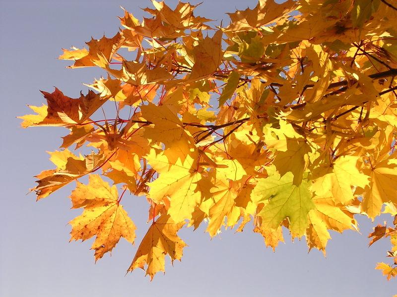 Lá cây Phong ở Na Uy