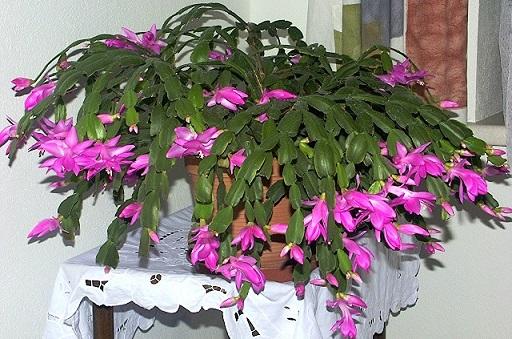 Hoa càng cua,hoa nhật quỳnh,hoa tiểu quỳnh,lan huỳnh,lan càng cua,Zygocactus truncatus (Hax) Moran,Christmas Cactus
