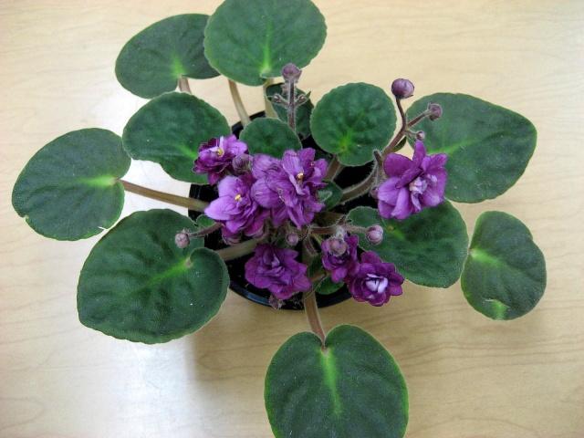 Hoa tử linh lan,tử linh lan,violet châu Phi,violet,hoa violet,Saintpaulia,African Violet