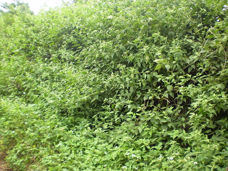 Bớp bớp,ba bớp,lốp bốp,cỏ Lào,yến bạch,cỏ hôi,cỏ Việt Minh,cỏ Nhật,cây cộng sản,cây phân xanh,Chromolaena odorata,họ Cúc,Asteraceae
