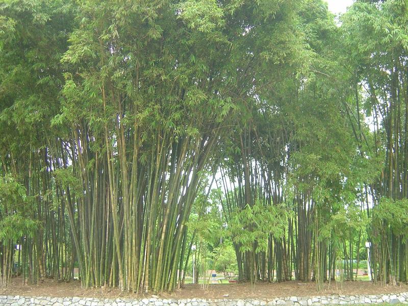 Cây tre,bộ Hòa thảo,phân họ Tre,tông Tre,Bambuseae,bamboo,cây phong thủy,cây ngoại thất,cây ngày Tết
