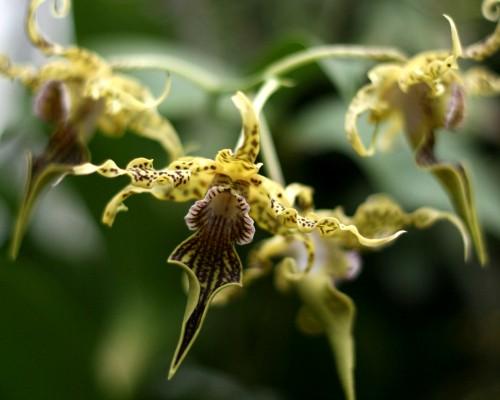 Hoa lan Dendrobium alexandrae