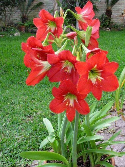 Hoa Loa Kèn đỏ
