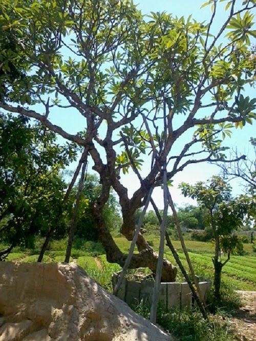 Cây xanh Đà Nẵng