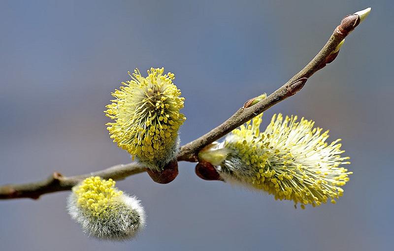 Chi liễu,cây liễu,các loài liễu,Salix,cây ngoại thất,cây phong cảnh,Hoa đuôi sóc (Salix caprea)