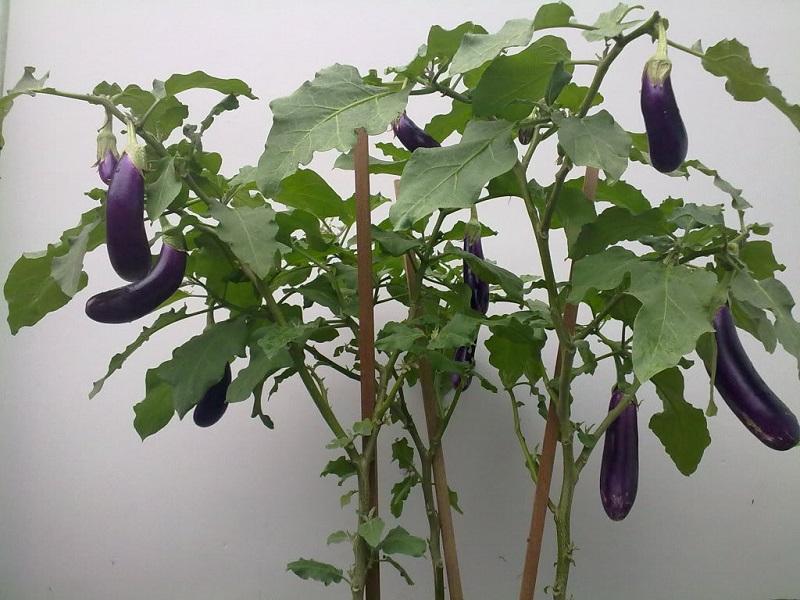Cà tím,cà dái dê,Solanum melongena,họ cà,họ khoai tây,Solanaceae,tác dụng của cà tím