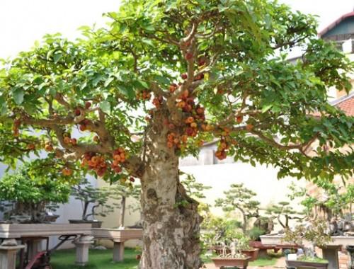 Cây sung bonsai làm cây cảnh