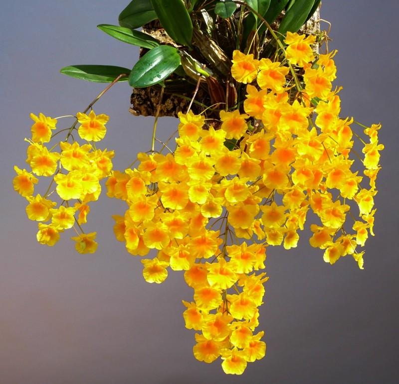 Lan vảy rồng,lan vảy rắn,lan vảy cá,tụ thạch hộc,Dendrobium lindleyi,Dendrobium aggregatum (nom. illeg.),lan hoàng thảo,hoa lan,phong lan