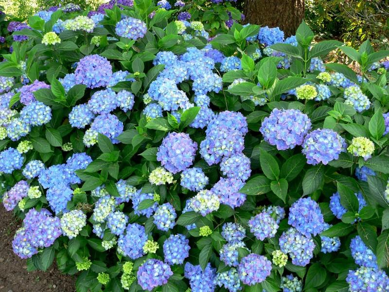 Hoa cẩm tú cầu,hoa cẩm tú,cẩm tú cầu,Hydrangea,hoa cam tu,hoa cưới,hoa tình yêu,hoa cuoi