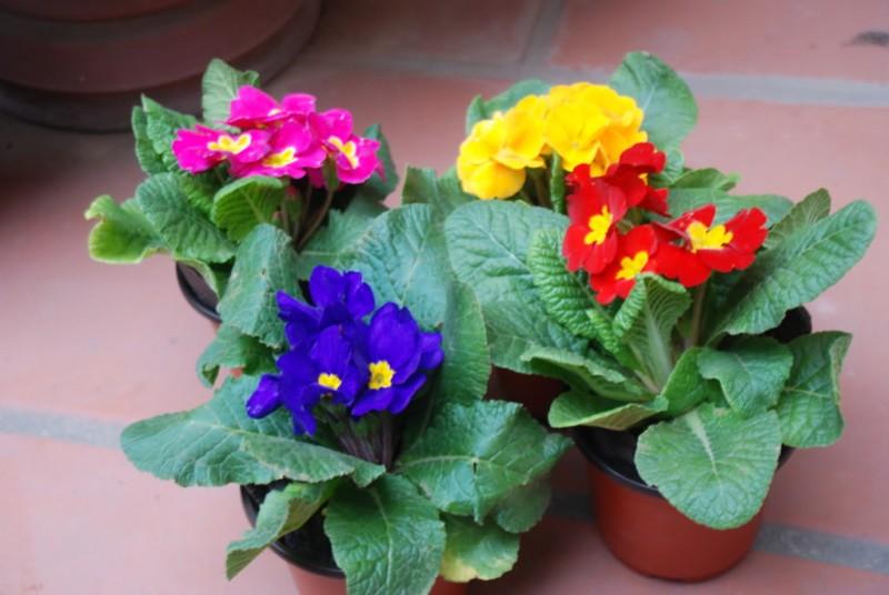 Hoa báo xuân,báo xuân,cỏ anh đào hạt nhỏ,anh thảo tiên,Primula,Primulaceae,Primula malacoides,họ anh thảo,họ báo xuân,cây ngày Tết
