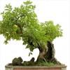 10 điều lý thú về cây xanh,cây cảnh,bonsai,cây cảnh đẹp,hoa cảnh,lợi ích của cây xanh,10 điều lý thú về cây xanh