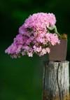 bonsai,cây cảnh bonsai đẹp,cây cảnh đẹp,những tác phẩm bonsai đẹp,Giới thiệu những tác phẩm cây cảnh bonsai đẹp ( Phần 2 )