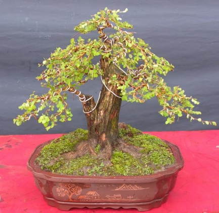 Cây sơn liễu,cay son lieu,sơn liễu,son lieu,sơn liễu thái,son lieu thai,Phyllanthus cochinchinensis muell,thầu dầu,Euphorbiaceae,cây bụi cảnh,cây bonsai