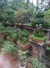 bán cây bon sai,sanh,sung,lộc vừng,đa,mua bán cây cảnh,hoa cảnh,sinh vật cảnh,hòn non bộ,Toàn quốc,Bán bonsai