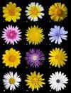 Họ cúc,họ hoa cúc,hoa cúc,Asteraceae,Compositae,họ Hướng dương,họ Cúc tây,thực vật có hoa hai lá mầm,Họ cúc