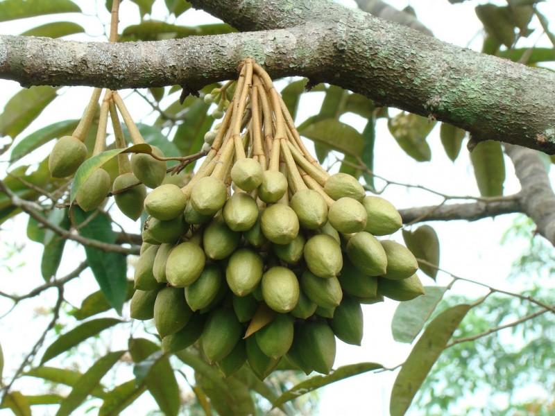 Sầu riêng,sự tích sẩu riêng,sầu riêng ruột đỏ,Durio,Malvaceae,Durionaceae,cây ăn quả,vua của các loại trái cây,lợi ích của sầu riêng với sức khỏe,tu-rên