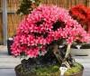 Cây đỗ quyên,chăm sóc cây cảnh,hoa cảnh,kỹ thuật chăm sóc cây cảnh,Cách trồng và chăm sóc cây đỗ quyên