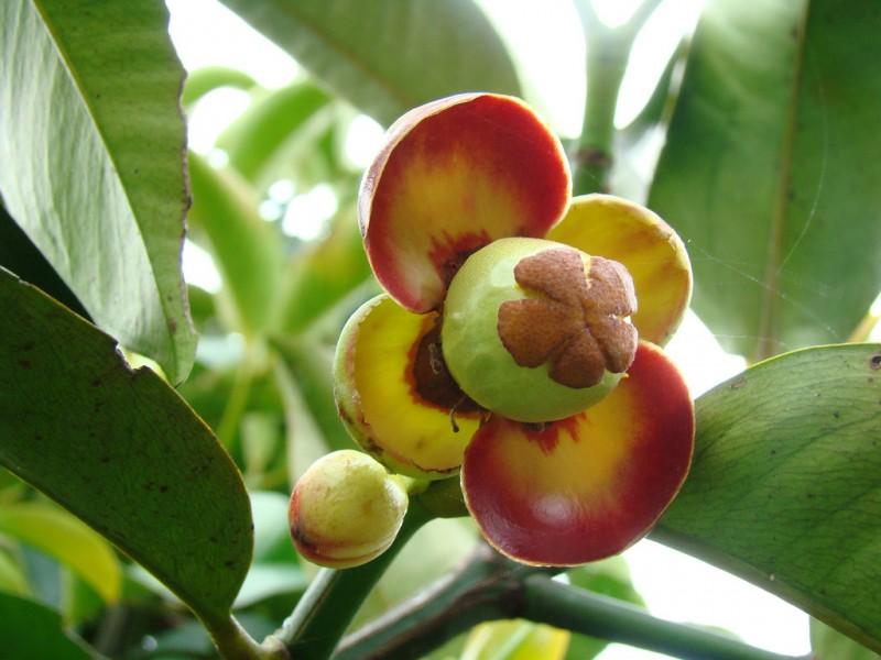Măng cụt,cây măng cụt,Garcinia mangostana,họ bứa,Clusiaceae,cây ăn quả