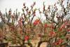 thú chơi hoa cây cảnh,người Hà Nội,Hà Thành,Thăng Long,Thú chơi hoa cây cảnh của người Hà Nội