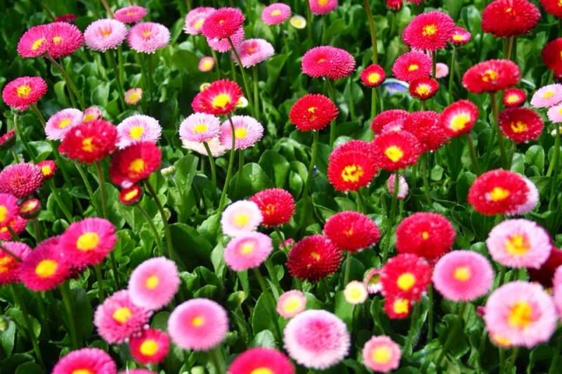 Hoa cúc Bellis Perennis,Bellis Perennis,hoa cúc,họ Cúc,Asteraceae,Compositae,hoa cúc daisy,daisy