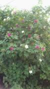 bán hoa Phù Dung,hoa phù dung,Bán cây hoa Phù Dung
