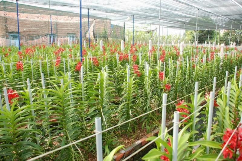 Lan mokara,mokara,phong lan,Orchidaceae,hoa lan,cây ngày Tết