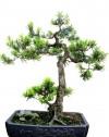 Vạn niên tùng,Tùng La Hán,cây Tùng,chăm sóc cây cảnh,cây cảnh,bonsai,Kỹ thuật chăm sóc cây Vạn niên Tùng ( Tùng La Hán )