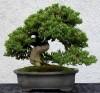 Cây cảnh phong thủy,cây cảnh,phong thủy,bonsai,hoa cảnh,Vì sao cây cảnh lại có tác dụng phong thuỷ