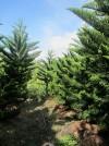 Chuyên sỉ lẻ tùng bách tán trang trí Noel,cây trang trí Noel,cây thông Noel,Chuyên sỉ lẻ tùng bách tán 3m, 4m, 5m trang trí Noel