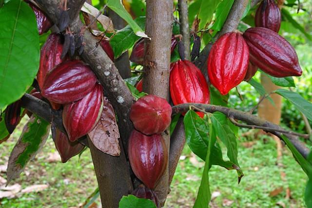 Cacao,cây cacao,Theobroma cacao